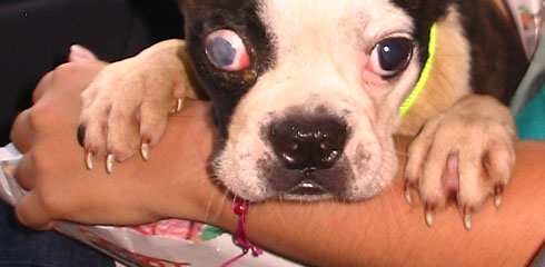 Boston terrier rescued in Taiwan