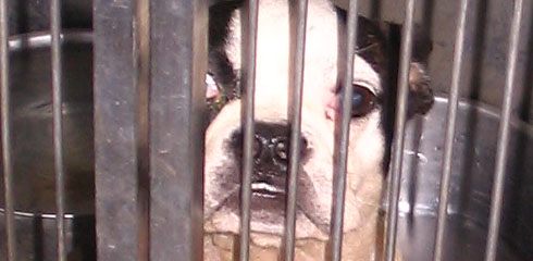 Boston terrier in a cage